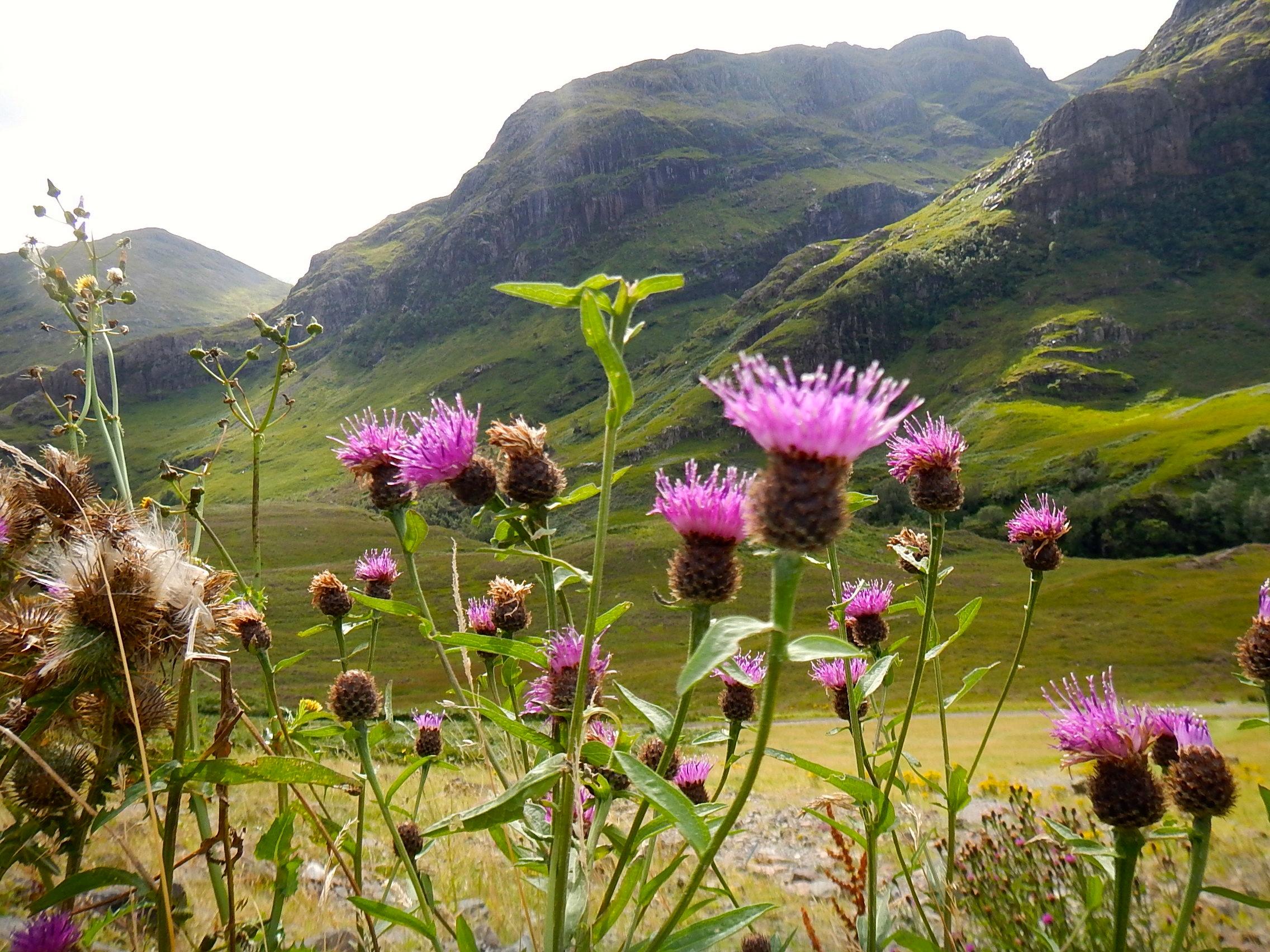Thistle in bloom in Glencoe, Scotland.
